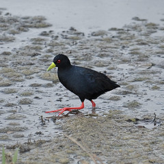 Treading Carefully - Black Crake Bird