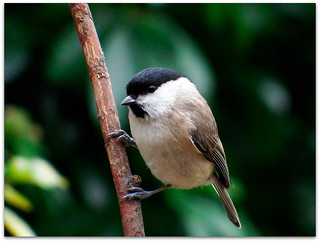 I'm pleased to see this marsh tit!