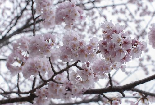 Sakura at Atami