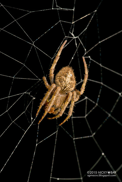 Orb web spider (Neoscona sp.) - DSC_2653