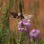 A sphinx moth near Keet Seel