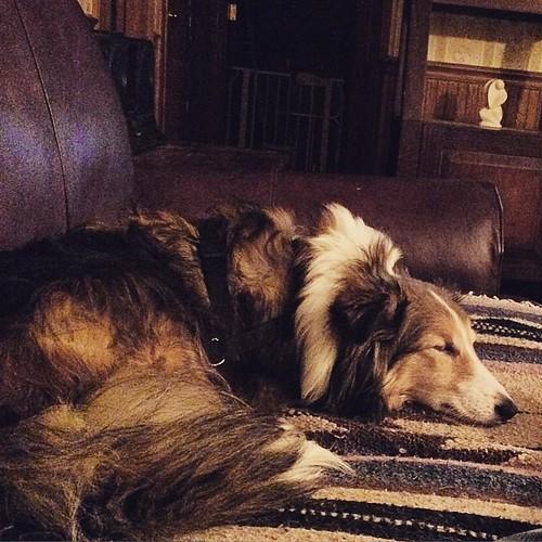 Sleeping beauty #maggie #Sheltie
