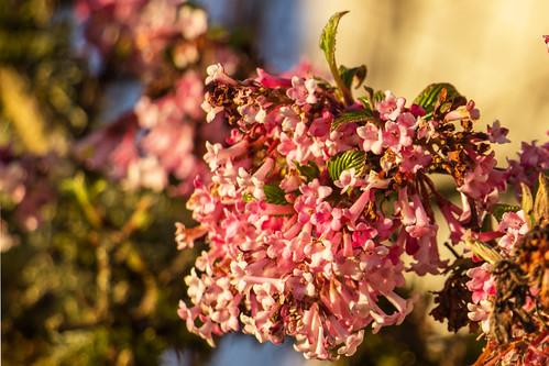 flowers nature oregon sunrise walnuthill vibernumfarreri