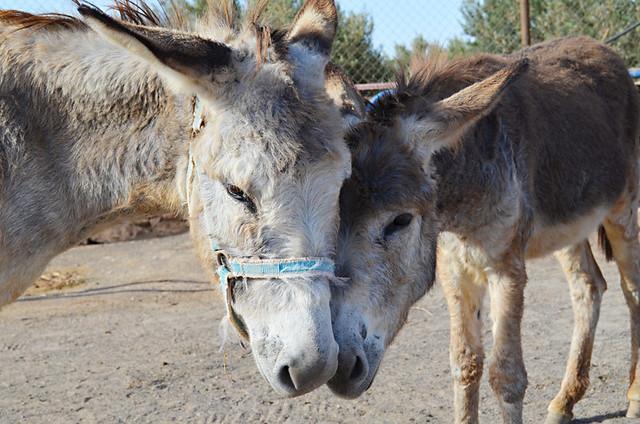 Donkeys, La Gayría, Fuerteventura