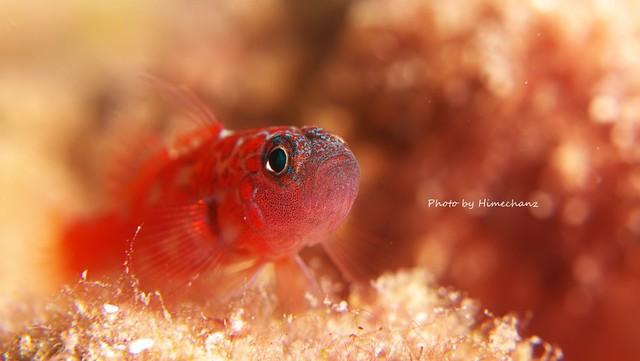 チゴベニハゼ成魚