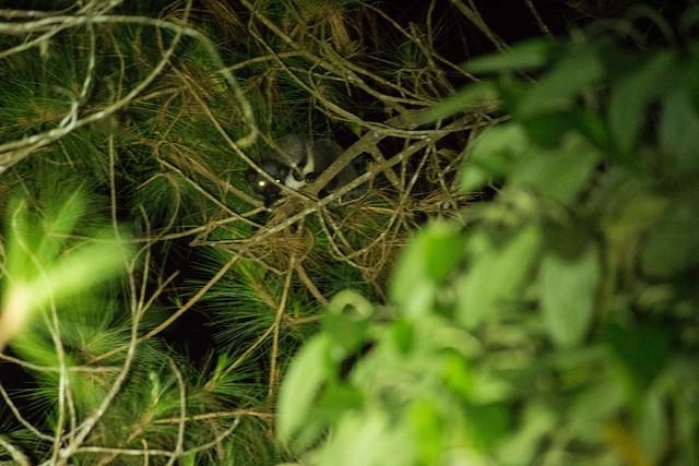 Wild Civets, Bukit Tapan, Kerinci, Sumatra, Indonesia
