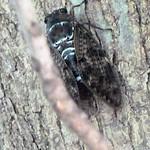 Cicada, seen in Okinawa, Japan