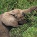 Small photo of African Bush Elephant (Loxodonta africana)