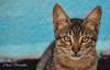 chaton algérien