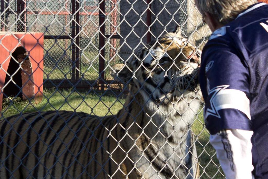 Tiger fan feed