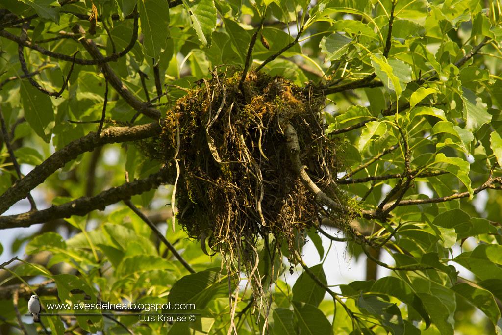 Anambé castaño (Chestnut-crowned Becard) Pachyramphus castaneus (Nest)