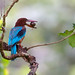 White-throated Kingfisher by V I J U