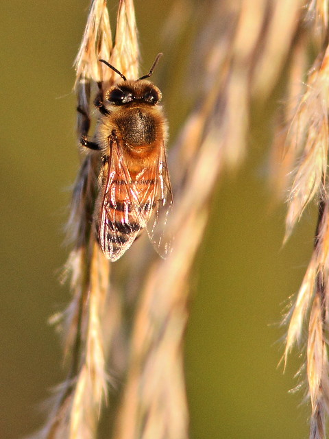 Honeybee 20141219