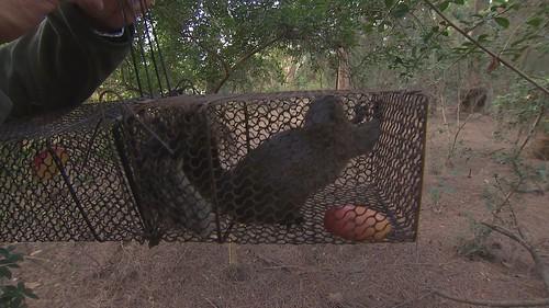 目前只能使用捕鼠籠抓松鼠