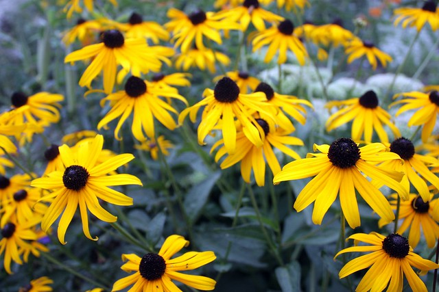 side view of about two dozen black-eyed susan flowers