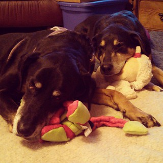 Grammy & Grampy just left... Can you tell? It was a wonderful day! #christmas #dogstagram #instadog #dobiemix #houndmix #rescued #adoptdontshop #dogtoy