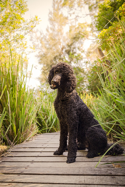Sirius Black Dog