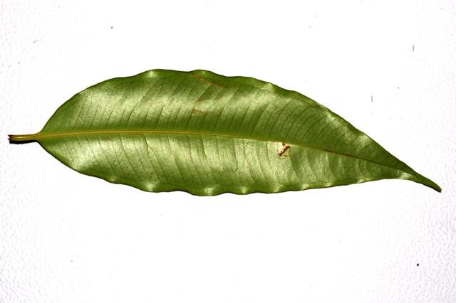 Syzygium glenum Cooper Creek DSC_0255 (2)