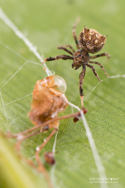 Feather-legged spider (Uloboridae) - DSC_2899