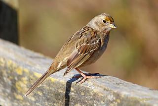 2015 Mar 03 Golden-crowned Sparrow 1448
