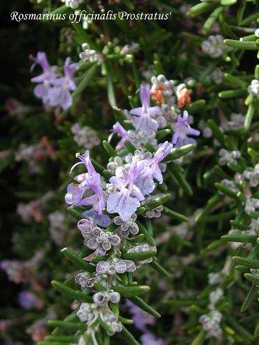 Rosmarinus officinalis'Protratus'