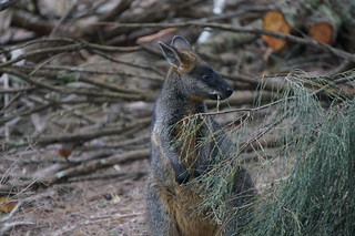 A wallaby at Tower HIll