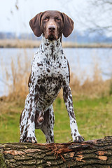 dog breed, animal, dog, mammal, braque d'auvergne, german shorthaired pointer,