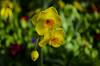 daffodil melancholy...