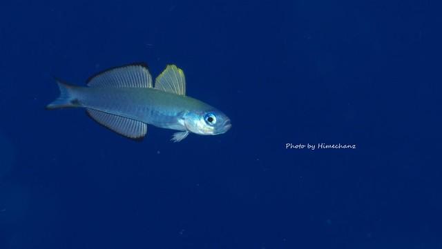 クロユリハゼ幼魚♪