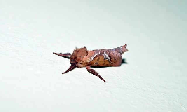 DSC_2108  Orange Swift Triodia sylvina  Moth Thanks to Milan Duniskvarić for helping Id this Moth
