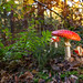Fly Agaric (Amanita muscaria) by markhortonphotography