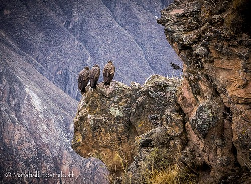 bird peru southamerica animal events vulture condor arequipa birdofprey colcacanyon absoluteperu2014
