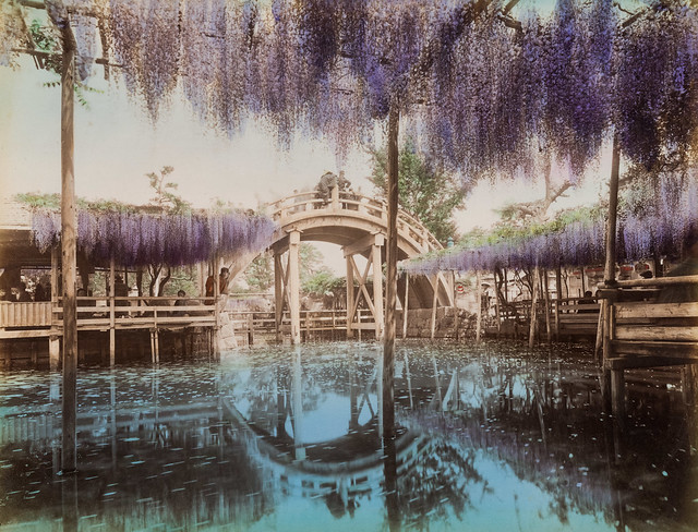Wisteria in Kameido shrine, Tokyo (hand-colored albumen print, Japan)