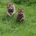 Small photo of Wild Cat chase