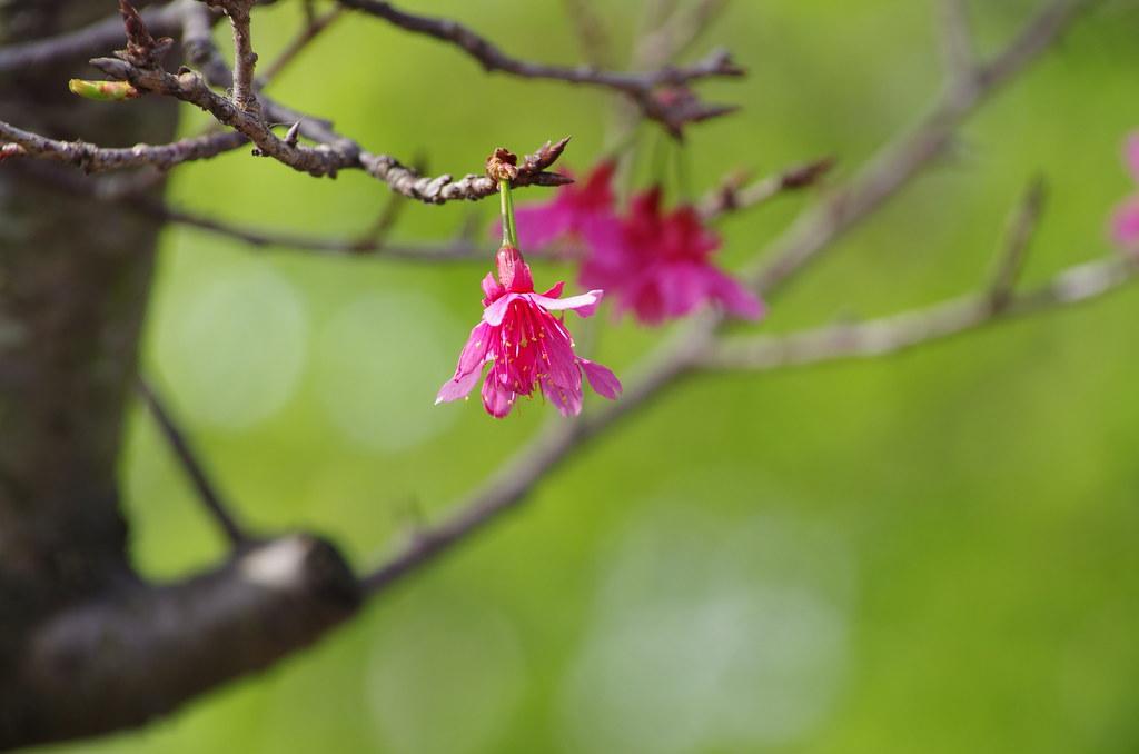 離家最近有櫻花地方