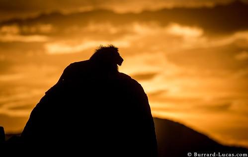 lion africanlion africanwildlife ugandawildlife silhouettelion