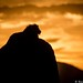 Silhouette Lion by Will Burrard-Lucas | Wildlife