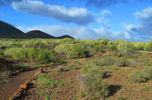 Cardon forest, Guimar, Tenerife