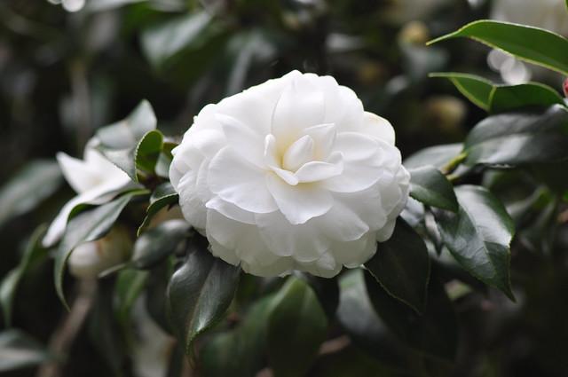 義民廟茶花 (16)