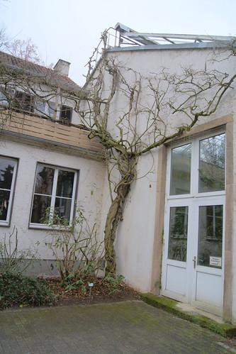 Wisteria sinensis (Chinese wisteria)
