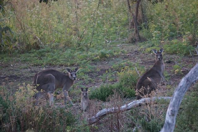 Kangaroo family at dusk