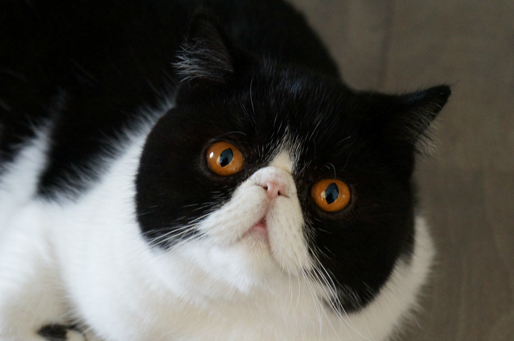 Roosje the Exotic Shorthair cat