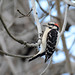 Downy Woodpecker by linda m bell