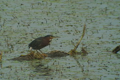 Green Heron, Yellow Creek State Park, 9/11/2013