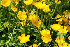 eschscholzia californica, flower, yellow, macro photography, wildflower, flora, common tormentil, meadow,