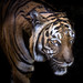 Tiger, Tiger Burning Bright by Longleaf.Photography