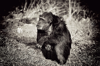 Chimpanzee | ZSL Whipsnade Zoo, Bedfordshire