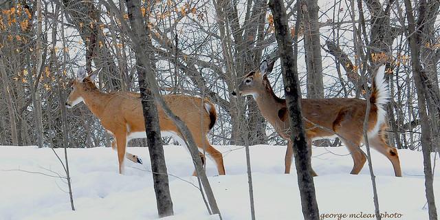 deer,two_2_24_15_9551 copy