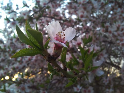 Flor de cerezo / Cherry blossom