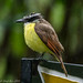 Great Kiskadee [Pitangus sulphuratus] by Fred Roe